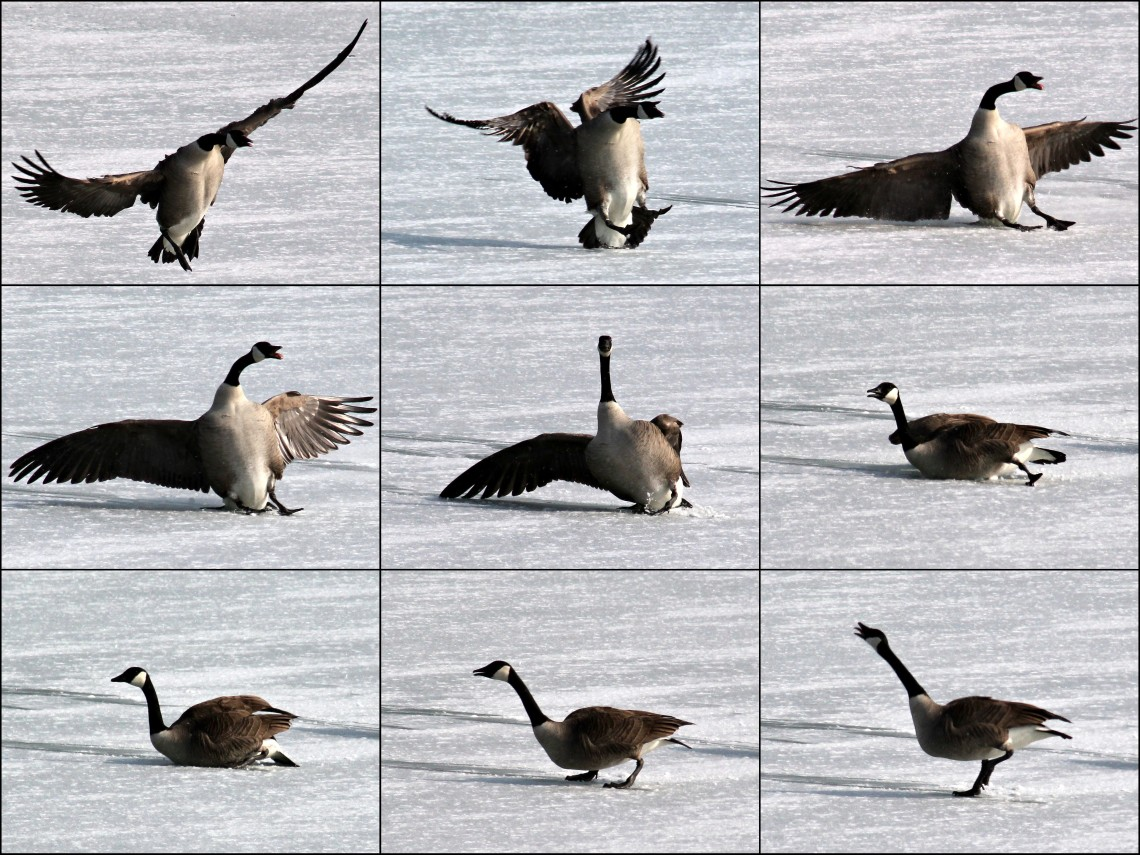 silly goose wipeout