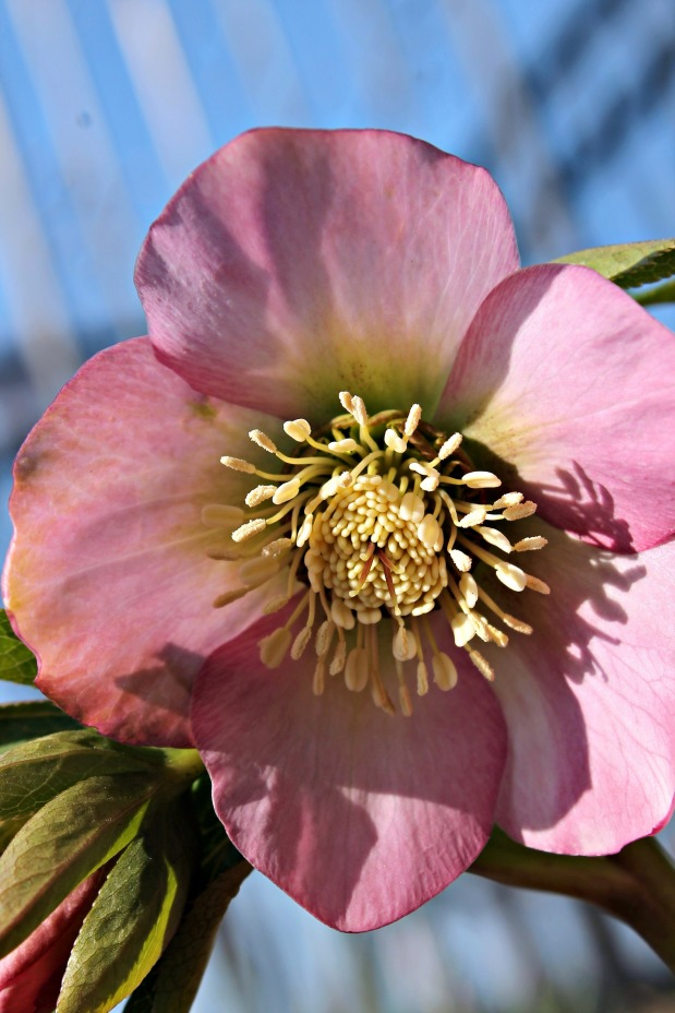 settlers watch lenten rose pink