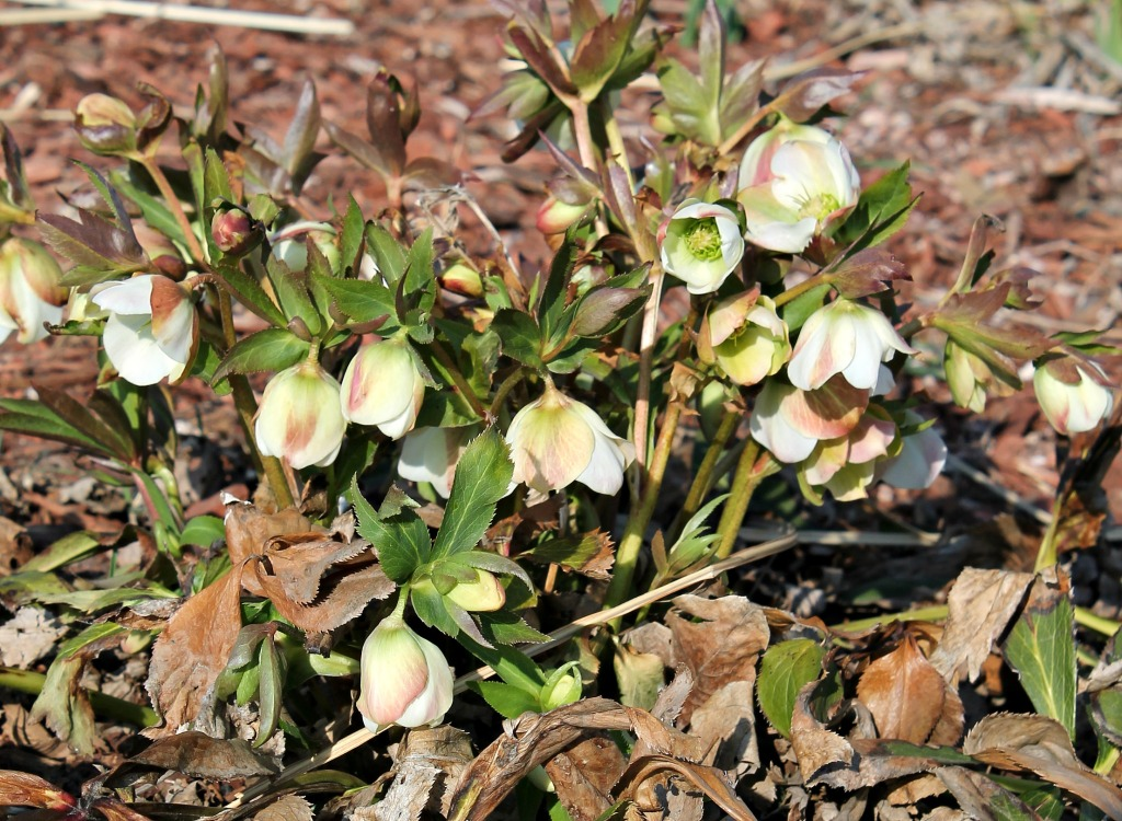 settlers watch lenten roses