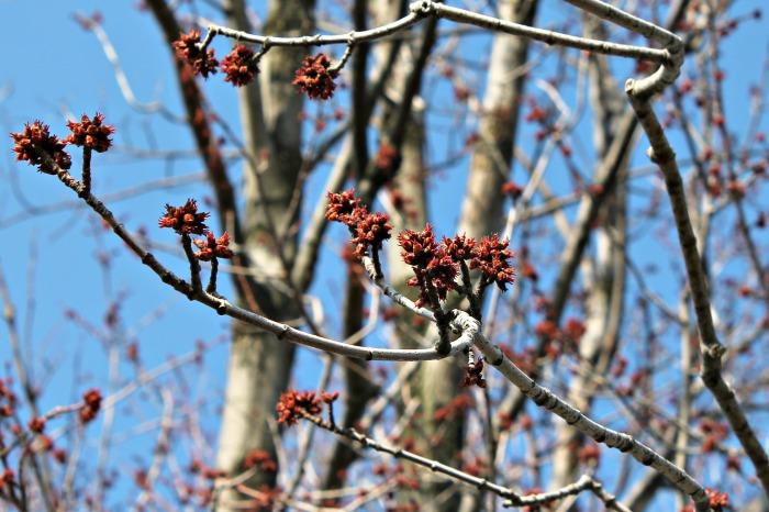 settlers watch tree buds