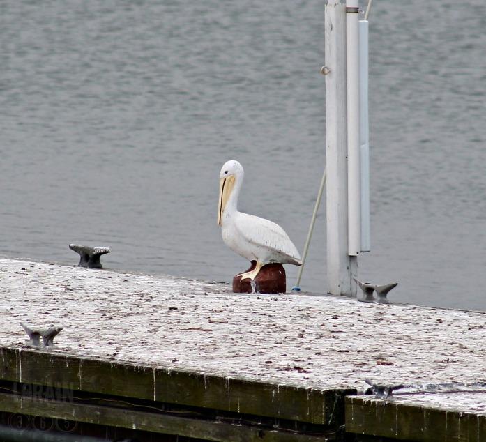 lorain pelican wm