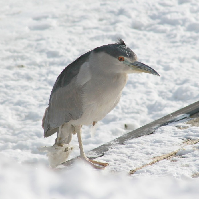 black crowned night heron 1