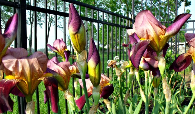 Irving Irises