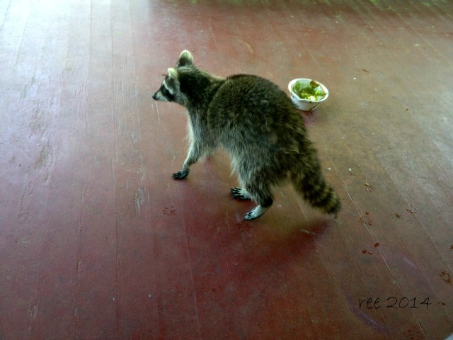 cat food - the new raccoon food