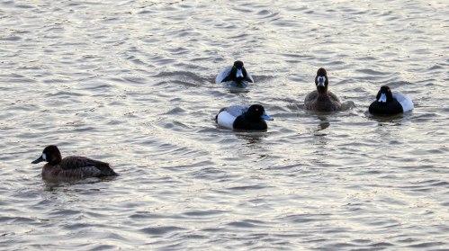 diving ducks 03