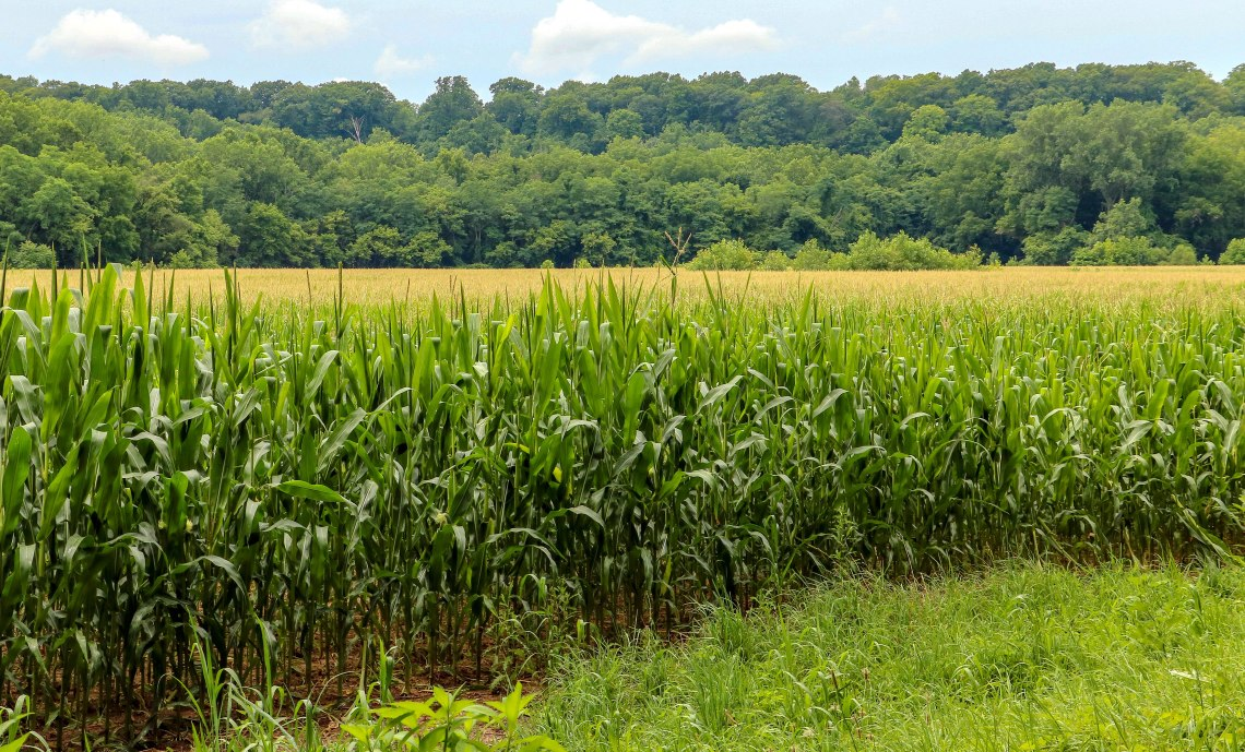 Corn 072018